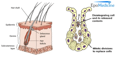 Sebaceous gland anatomy