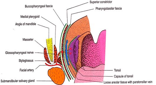 applied anatomy of palatine tonsils | epomedicine, Human Body