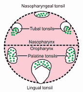 Pharyngeal lymphoid ring