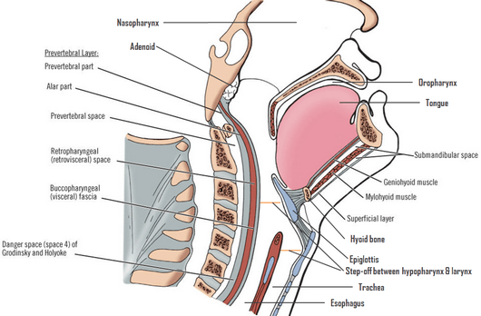 Neck soft tissue schematic