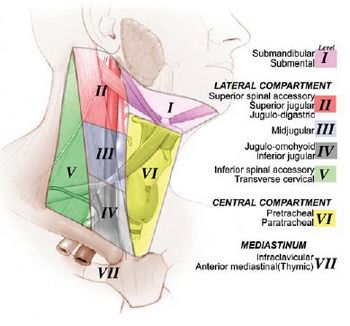 Zones of neck