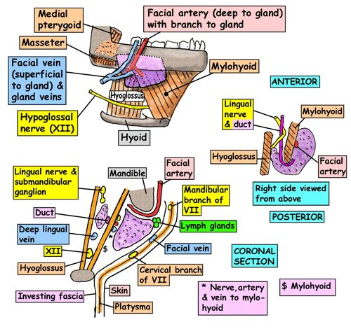 Applied Anatomy Of Submandibular Salivary Gland Epomedicine