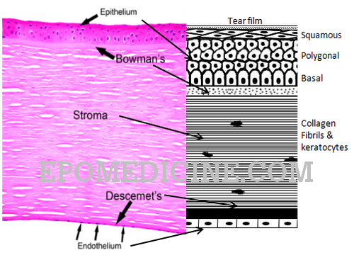 cornea histology schematic