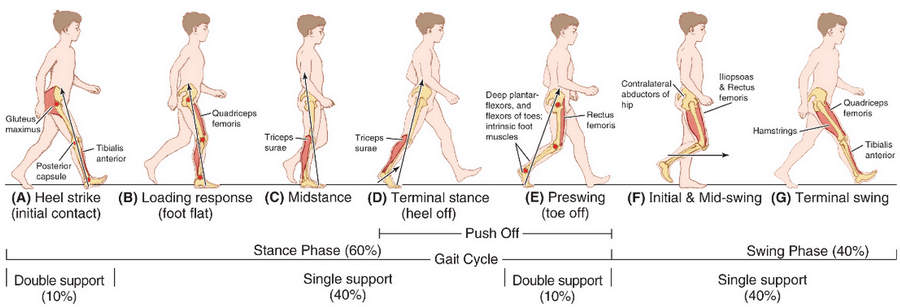 gait cycle normal phases