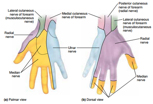 hand cutaneous innervation