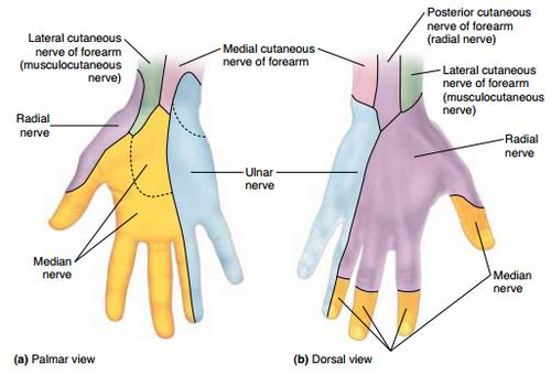 hand cutaneous innervation