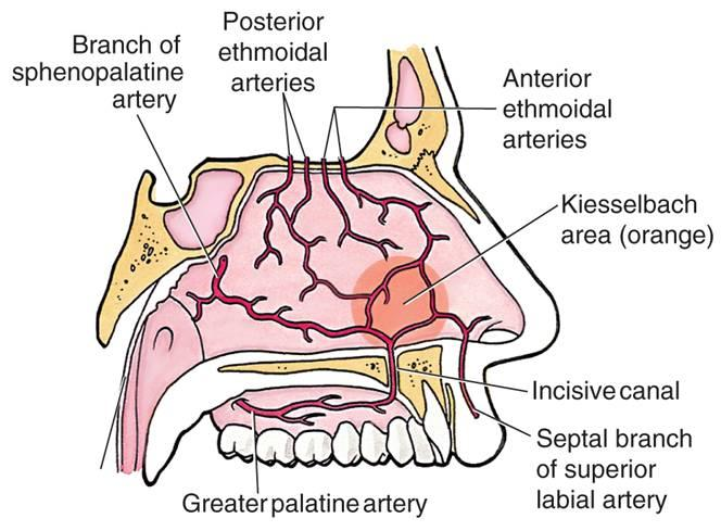Epistaxis Basics : Anatomy, Physiology and Pathology | Epomedicine