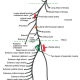 radial nerve course branches