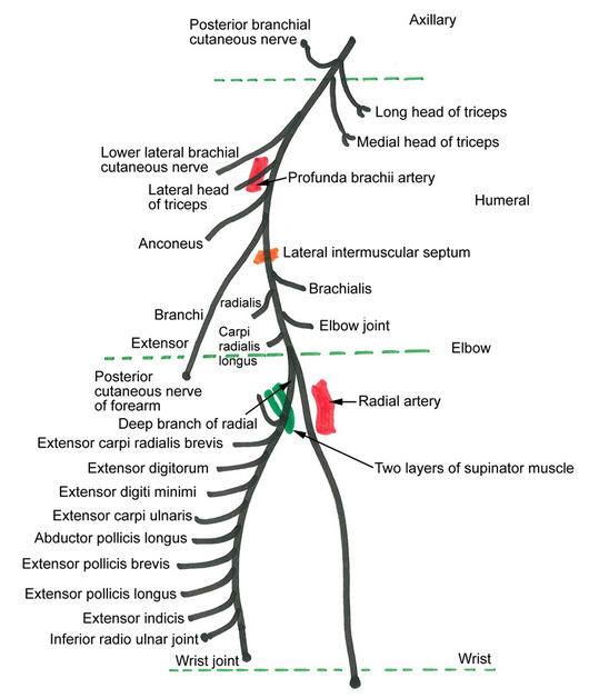 examination of radial nerve palsy or injury