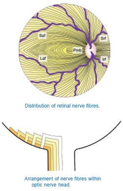 retinal nerve fibers anatomy