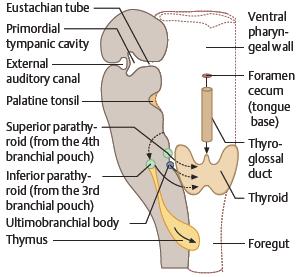 thyroglossal cyst embryology