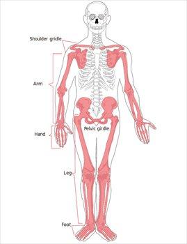 Appendicular-skeleton