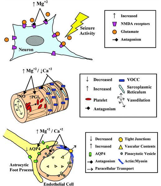 MgSO4 mechanism