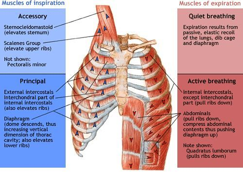 Respiratory Examination - Relevant Anatomy and Physiology | Epomedicine