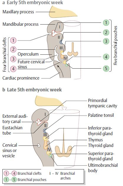 branchial apparatus embryology
