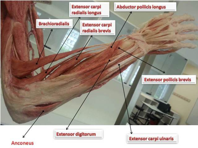 Muscles of forearm : Quick review | Epomedicine
