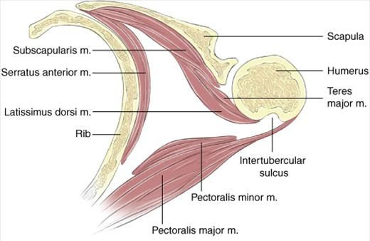 Surface anatomy shoulder