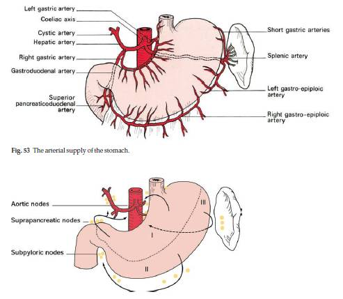 Surgical Anatomy of Stomach | Epomedicine