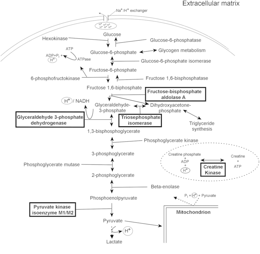glycolysis and gluconeogenesis