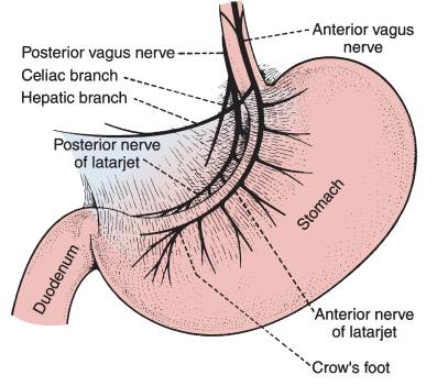 nerve supply stomach