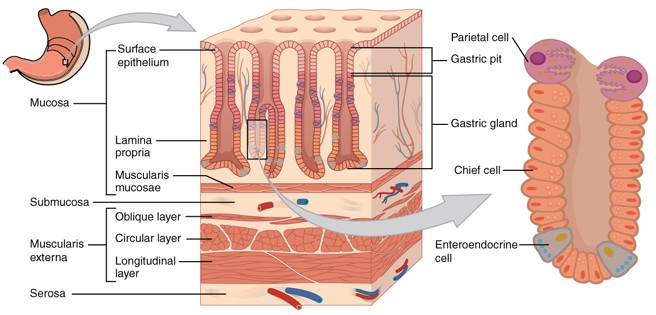 Surgical anatomy of stomach epomedicine stomach histology ccuart Images