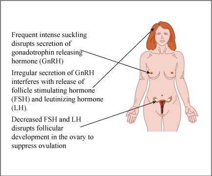 lactational amenorrhea mechanism