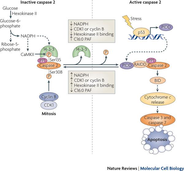 caspase-2 activation
