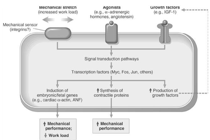 hypertrophy mechanism