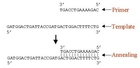 primer PCR