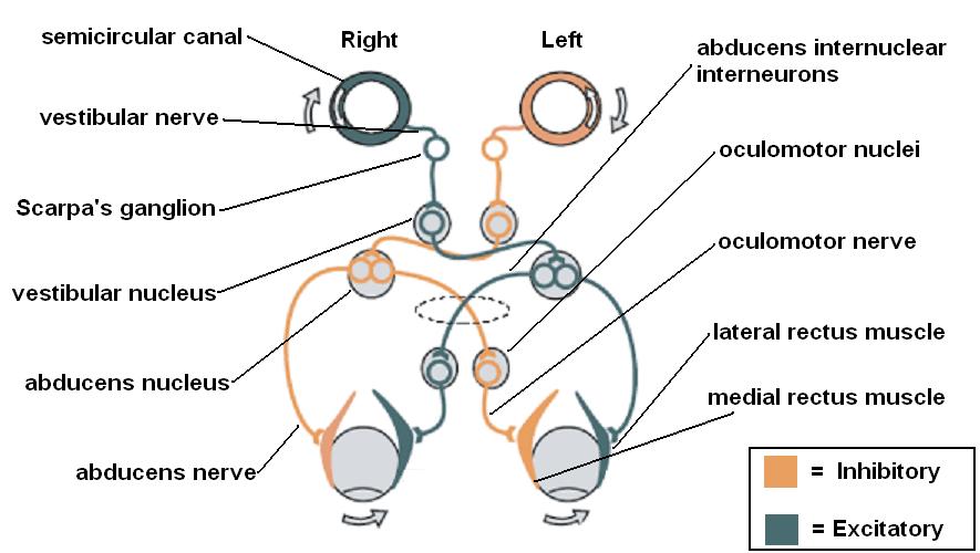 Vestibulo-ocular reflex
