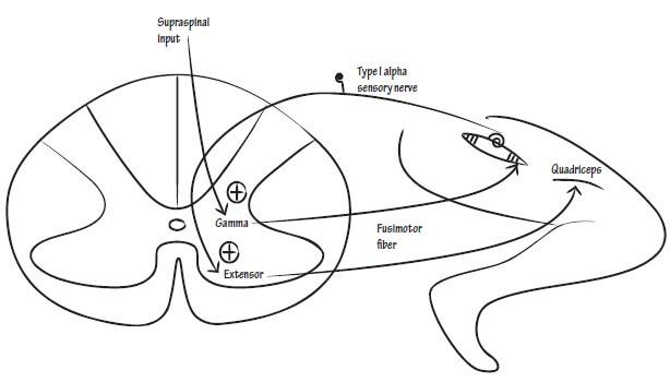 gamma loop