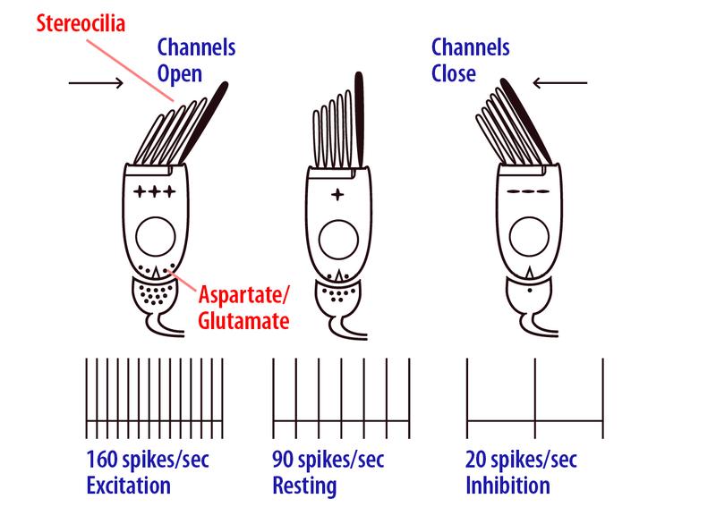 hair cell kinocilium