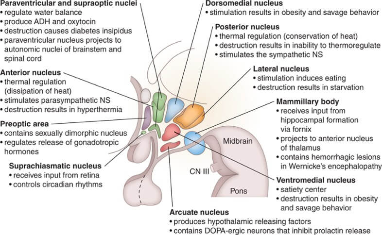 hypothalamic nuclei