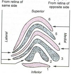 lateral geniculate body lamina