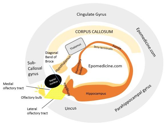 limbic system visual mnemonic
