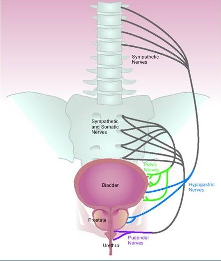 prostate nerves