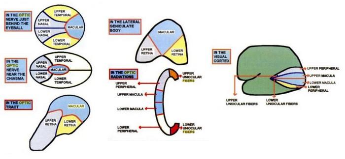 retinal fibers arrangement