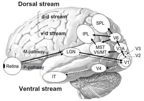 Visual processing cortex