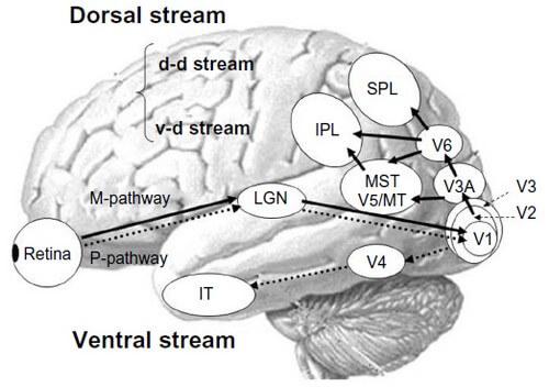 Visual processing cortex