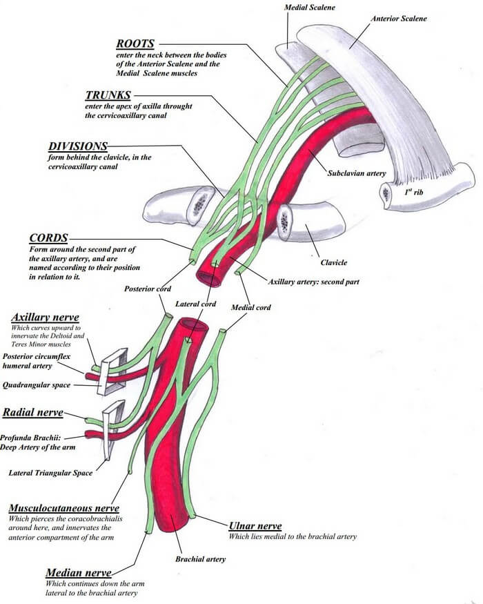 Brachial plexus relations and course