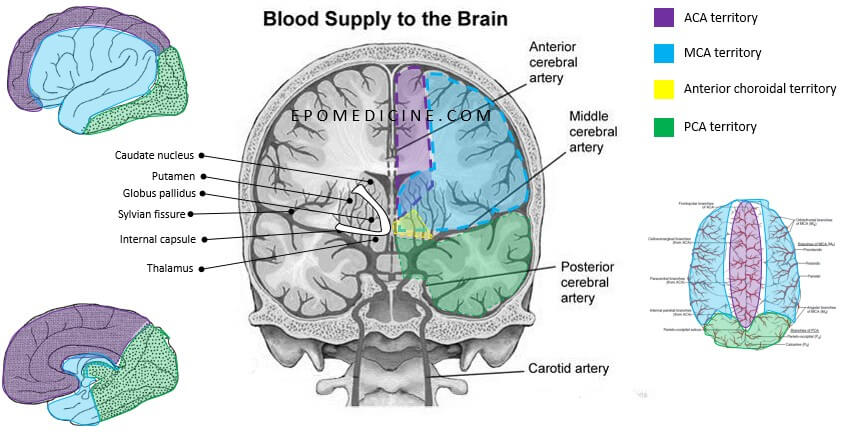 Brain blood supply