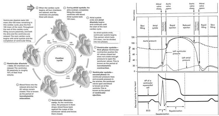 cardiac cycle events