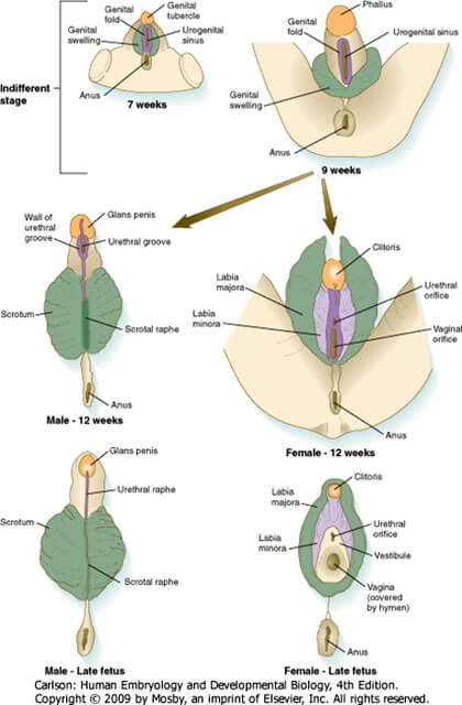 external genital embryology