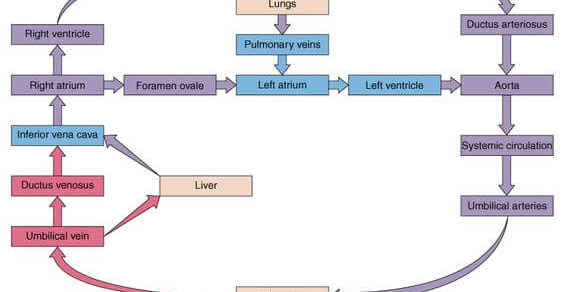 fetal circulation schematic