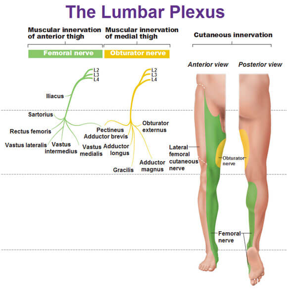 lumbar-plexus-muscular-innervation-and-cutaneous-innervation