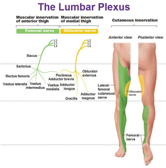 lumbar-plexus-muscular-innervation-and-cutaneous-innervation