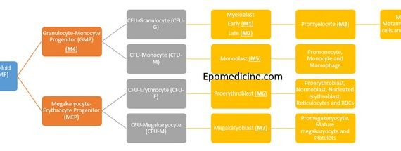 Concept of Acute Myeloid Leukemia (AML) FAB Classification