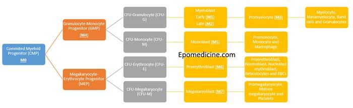 myeloid differentiation aml
