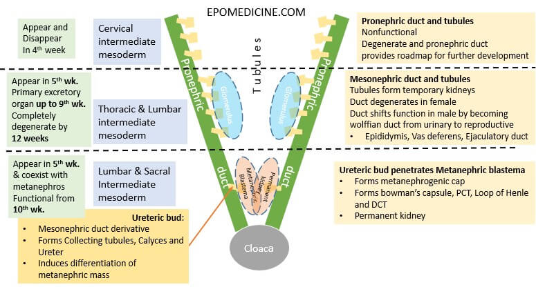 renal embryology schematic