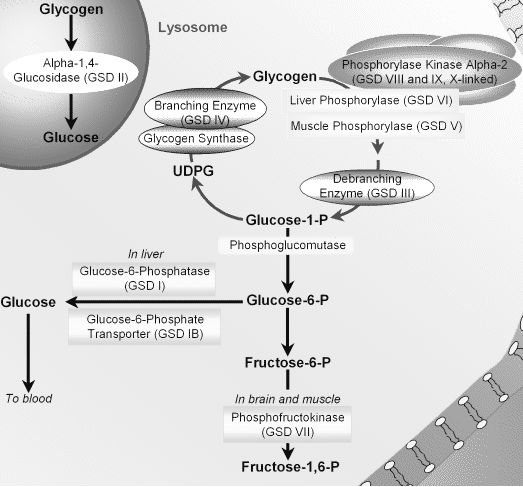 Enzymes Affected By Glycogen Storage Diseases